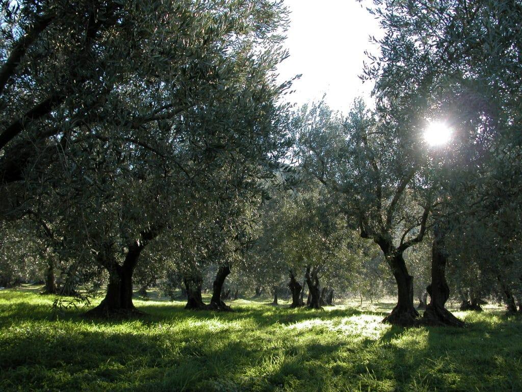 Les oliviers du Parc Naturel du Verdon