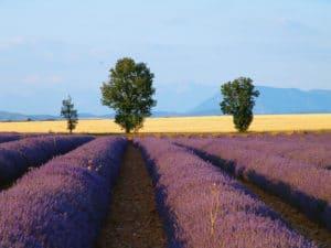 Plateau de Valensole et ses champs de lavandes